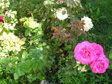 Roses at the Monastery Garden