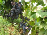 Vineyard at Medjugorje