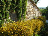 Daisies and old wall